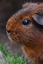 Preview iPhone wallpaper Brown guinea pig, eye, stone