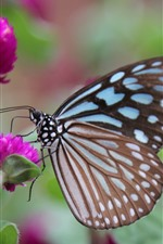 Preview iPhone wallpaper Butterfly, wings, pink clover flowers