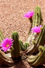 Preview iPhone wallpaper Cactus flower bloom, pink flowers