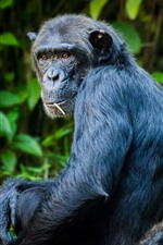 Preview iPhone wallpaper Chimpanzee look back, eyes, hazy background