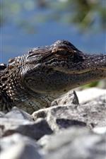 Crocodilo, descanso, rochas