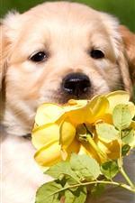 Preview iPhone wallpaper Cute dog and yellow rose