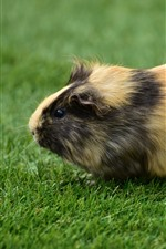 Cute guinea pig, green grass