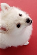 Preview iPhone wallpaper Cute white dog, look, red background