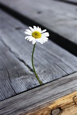 Preview iPhone wallpaper Daisy, flower, petals, wood