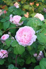 Garden, pink roses, green leaves, sunshine