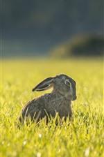 Preview iPhone wallpaper Hare, grass, summer