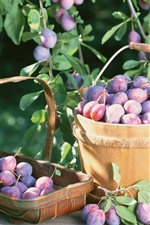 Preview iPhone wallpaper Harvest, purple plums, fruit