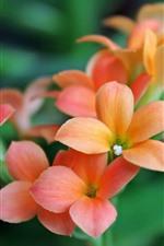 Preview iPhone wallpaper Orange little flowers, petals