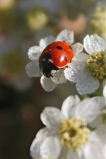 Preview iPhone wallpaper Red ladybug, white flowers, hazy