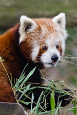 Preview iPhone wallpaper Red panda, look back, bamboo