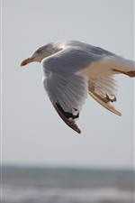 Preview iPhone wallpaper Seagull flight, bird close-up