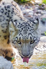 Preview iPhone wallpaper Snow leopard drink water