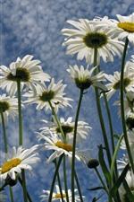 iPhone壁紙のプレビュー いくつかの白いヒナギク、花びら、青い空