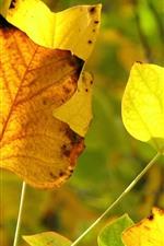 Algumas folhas de bordo amarelas, outono