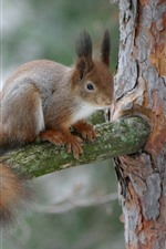Preview iPhone wallpaper Squirrel on tree, wildlife