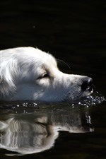 Preview iPhone wallpaper White dog, swimming, water