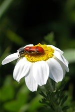 Preview iPhone wallpaper White flower, petals, ladybug, insect