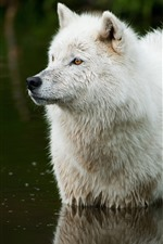 Preview iPhone wallpaper White wolf, stand in water