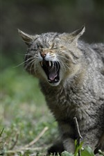 Preview iPhone wallpaper Wildcat, yawn, teeth, grass