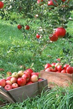 Preview iPhone wallpaper Apple tree, red apples, harvest