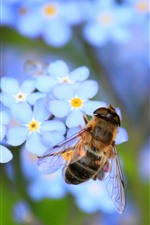 Preview iPhone wallpaper Bee, insect, blue flowers, forget-me-not