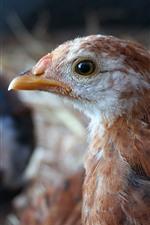 Preview iPhone wallpaper Chicken, head, beak