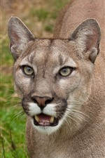 Cougar, face, teeth, wildlife
