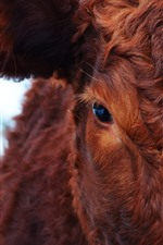 Preview iPhone wallpaper Cow, brown, eyes, look