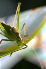 Grasshopper, insect macro photography, hazy