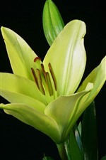 Green lily flower, black background