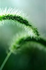 Green setaria, grass close-up