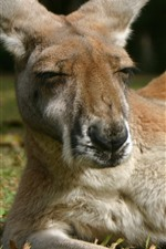 Preview iPhone wallpaper Kangaroo, rest, grass