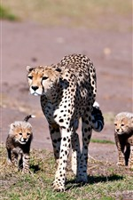 Preview iPhone wallpaper Leopard, cubs, family, walking