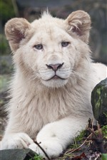 Preview iPhone wallpaper Lion, stone, sit, rest, look