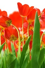 Preview iPhone wallpaper Many red tulips, green leaves, stem