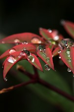 Preview iPhone wallpaper Nature, red leaves, water droplets, twigs