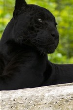 Preview iPhone wallpaper Panther, rest, look, zoo