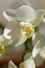 Preview iPhone wallpaper Phalaenopsis, white flowers, petals, orchid