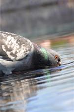 iPhone壁紙のプレビュー 鳩の飲料水