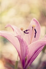 Preview iPhone wallpaper Pink lily flower close-up, petals, hazy