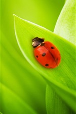 Red ladybug, green leaves, insect close-up