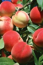 Ripe peaches, twigs, green leaves