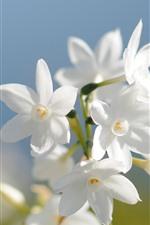 iPhone壁紙のプレビュー いくつかの白い水仙の花、花びら
