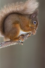 Preview iPhone wallpaper Squirrel, tree branch