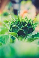 Sunflower flower bud, green, plants