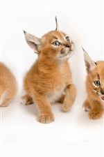Preview iPhone wallpaper Three lynx cubs, cute animal