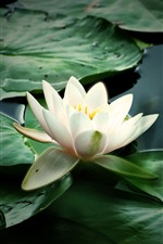 Preview iPhone wallpaper White water lily, green leaves, pond, hazy