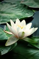 Lírio d'água branco, folhas verdes, lago, nebuloso
