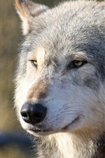 Preview iPhone wallpaper Wolf front view, face, nose, eyes, look